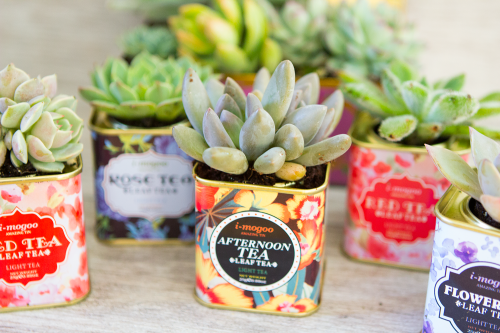 succulents-vintage-tea-tins-1