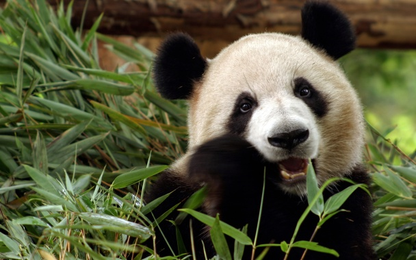 Study-reveals-How-Pandas-Survive-On-Bamboo